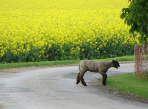 einsames Schaf